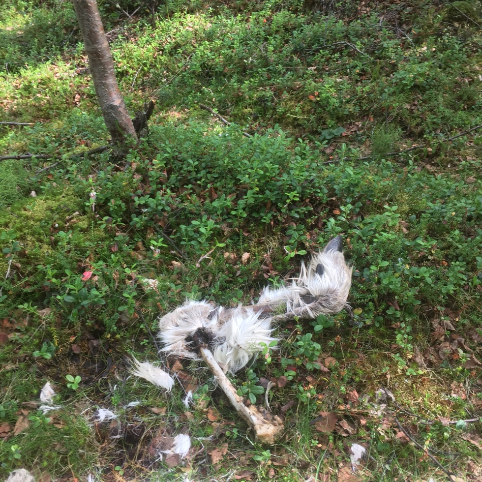 Remains of a reindeer after suspected wolverine attack